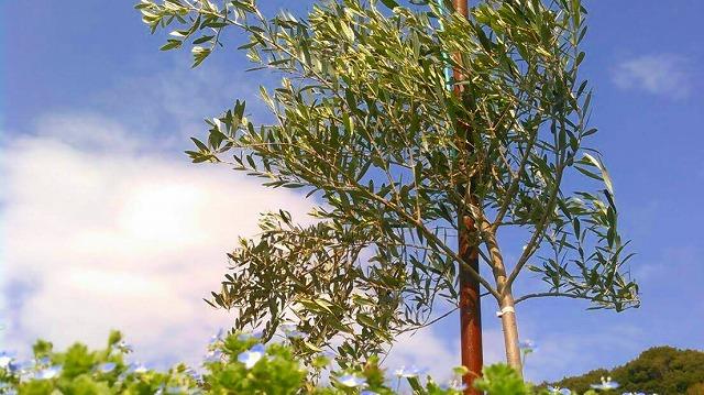 オリーブ園 熊本 天草産 100%国産 高級エクストラバージンオリーブ やまねこオリーブ こだわりオリーブオイル