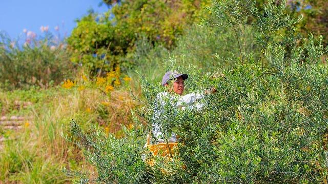作業風景 熊本 天草産 100%国産 高級エクストラバージンオリーブ やまねこオリーブ こだわりオリーブオイル