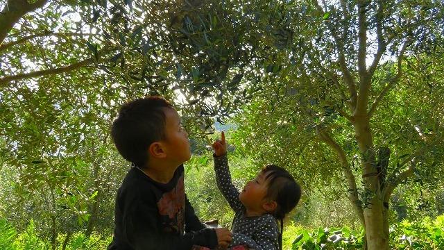 収穫 熊本 天草産 100%国産 高級エクストラバージンオリーブ やまねこオリーブ こだわりオリーブオイル